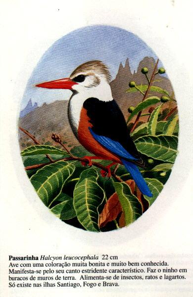 Birds of Cape Verde - Aves de Cabo Verde